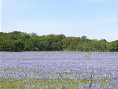 Texas Blue Bonnets (Apr 2007)
