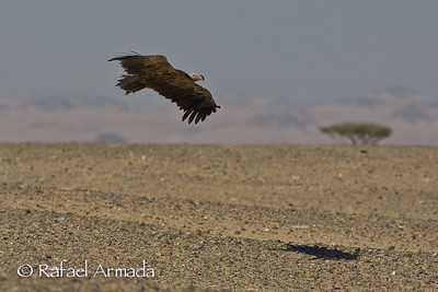 Lapped-faced Vulture (Torgos trachielotus)