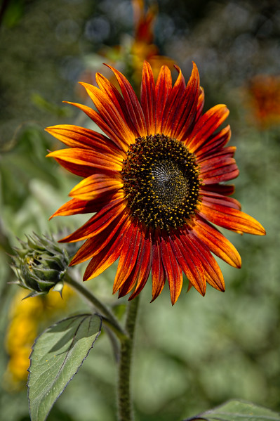Sunflower Field (20 of 141).jpg