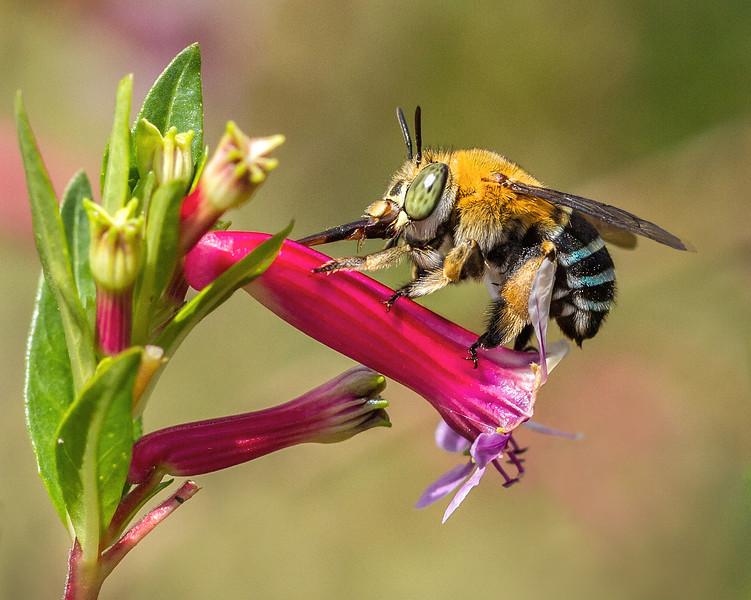 Blue-banded Bee feeding-copy.jpg