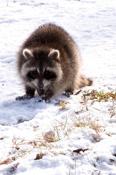 clip-015-raccoon-wdsm-10dec11-2505.jpg