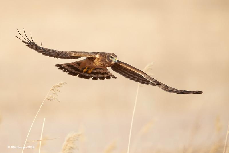 Classic Harrier.jpg