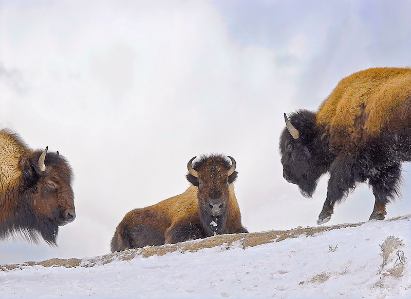 Yellowstone_Bison-3.jpg