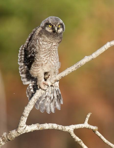 Northern Hawk Owl baby juvenile Owl Ave Sax-Zim Bog MN IMG_1156.jpg