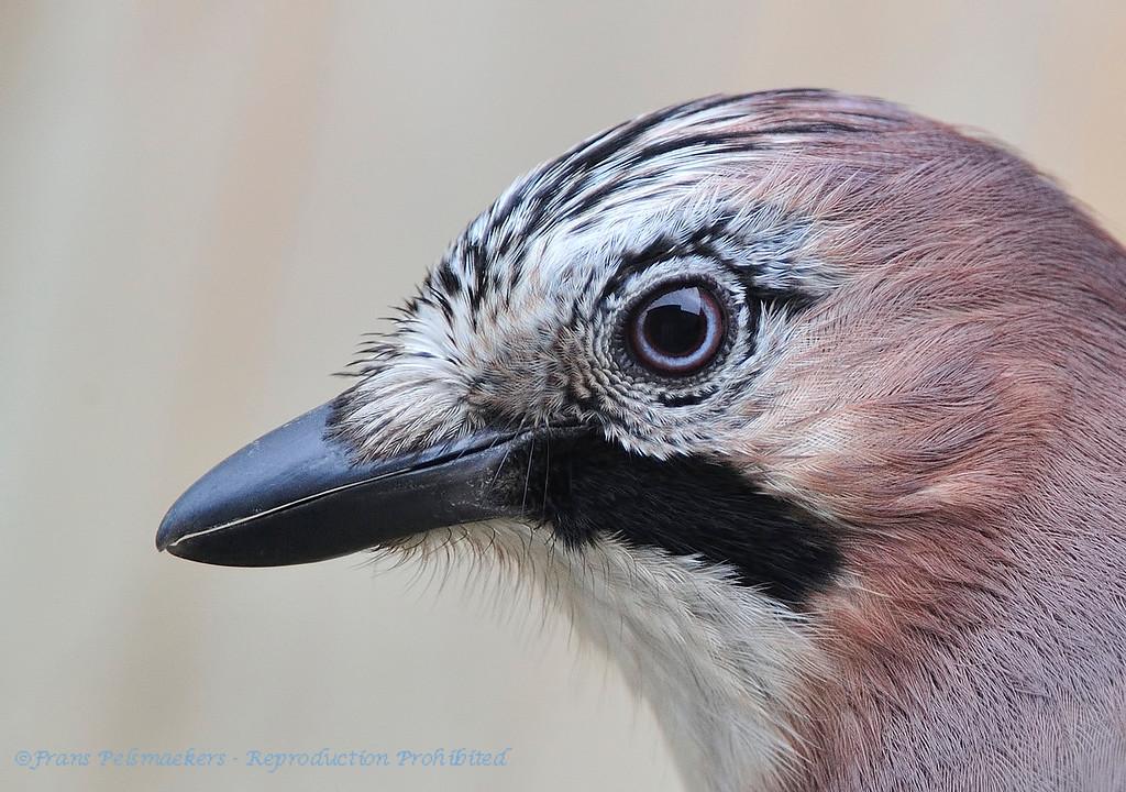 Close-up Vlaamse gaai