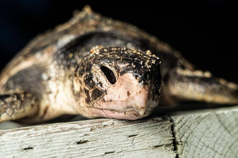 Kemp's Ridley sea turtle rescued too late.jpg