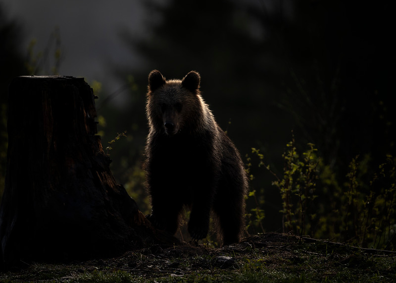 Female brown bear at dawn
