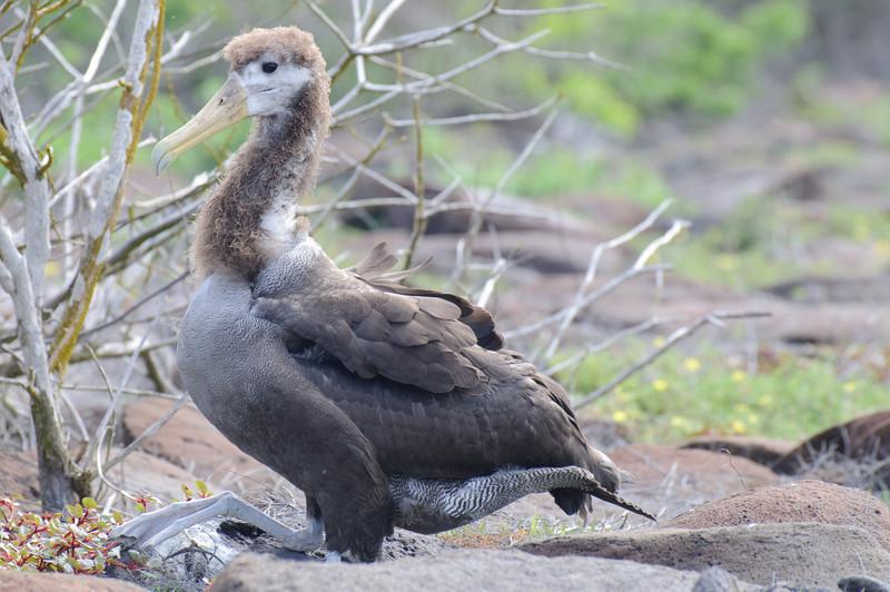 Juvenile Galapagos Albatrosses