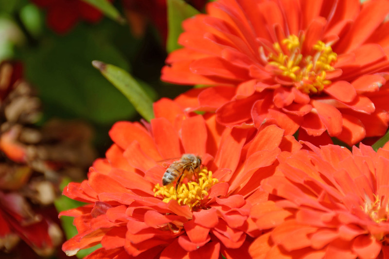 Dow Gardens - Bee on Zinnia.jpg