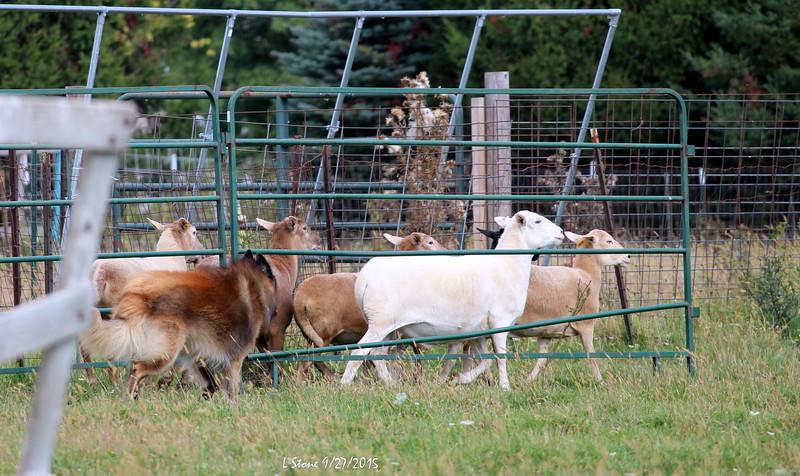 2015.9.27 Herding at Bonnies (41).JPG