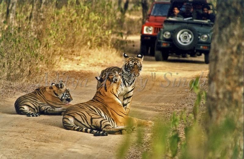 Machali tiger