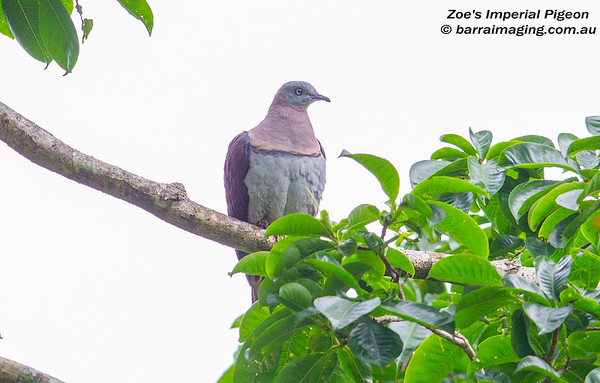 Zoe's Imperial Pigeon Ducula zoeae