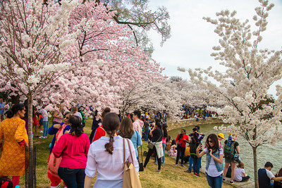 Cherry Blossoms Along the Tidal Basin in DC (2019)