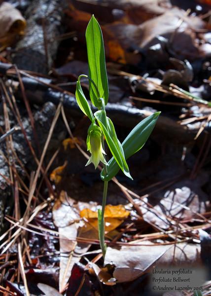 perfoliate bellwort.jpg