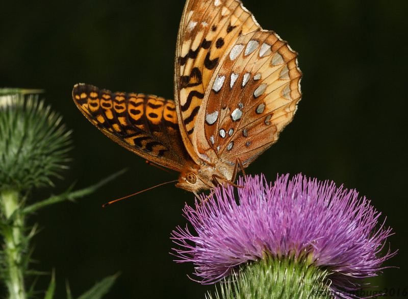 Great Spangled Fritillary, Speyeria cybele, drinking from a thistle in Iowa.