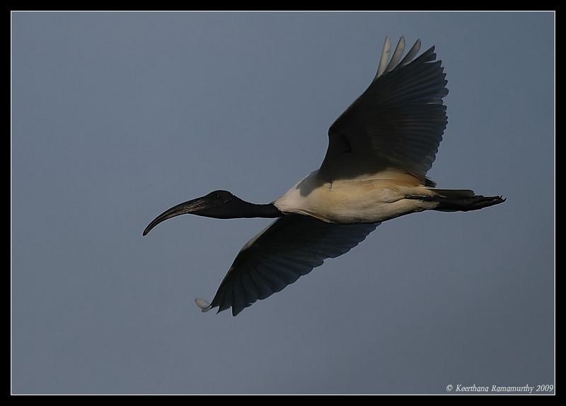 Black Ibis in flight, Kukkarahalli Lake, Mysore, Karnataka, India, 2009