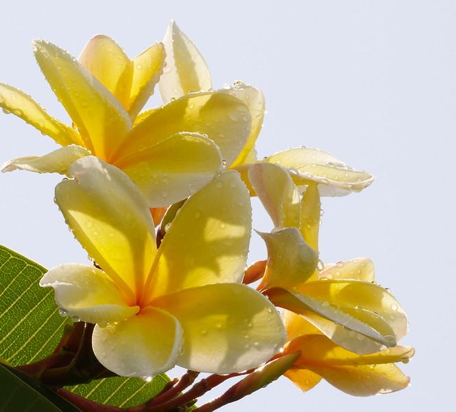 yellow frangipani after rain