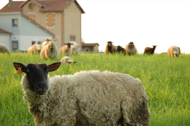 Village Sheep - Mouhous, France