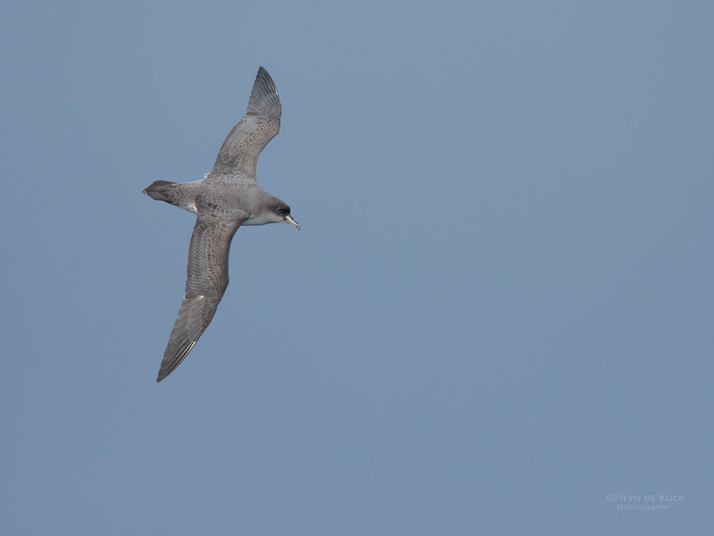 Grey Petrel, Eaglehawk Neck Pelagic, TAS, July 2015-1.jpg
