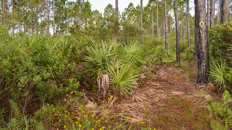 Trail through palmetto and pines