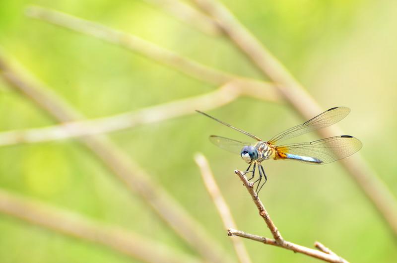 Blue Dasher Dragonfly Walden Ponds.jpg