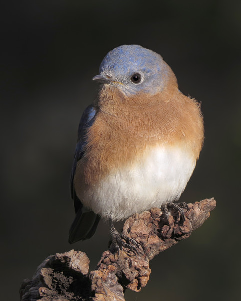 sx50_bluebird_boas_128.jpg