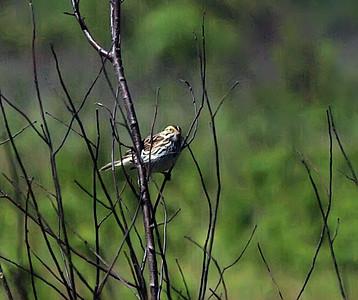 Maine Birds -May 2011