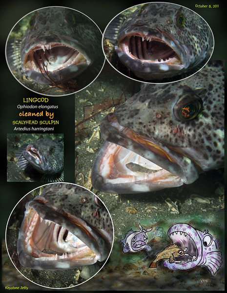 LINGCOD (Ophiodon elongatus ) being cleaned by SCALYHEAD SCULPIN.  Keystone Jetty, Whidbey Island. October 8, 2011
