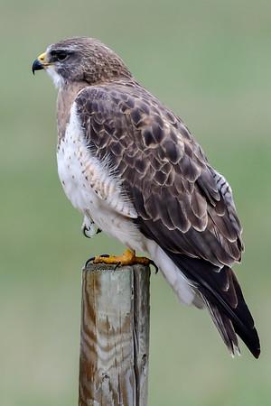 5-8-18 Common Snipe & Swainson's Hawk