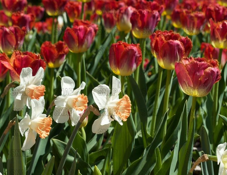 Daffodils & Tulips