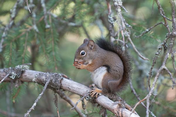 Squirrels, Chimpminks