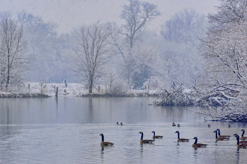 snow 2016 - canadian geese mill creek bend(p).jpg