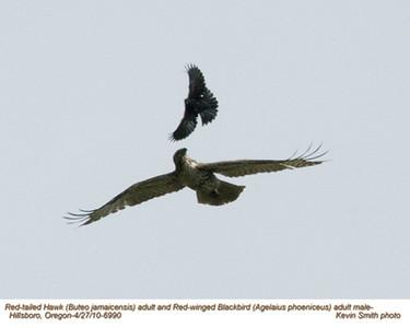 RedTailedHawk&RedWingedBlackbird6990.jpg