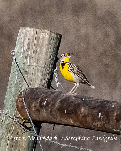 _DSC4941California Meadowlark.jpg
