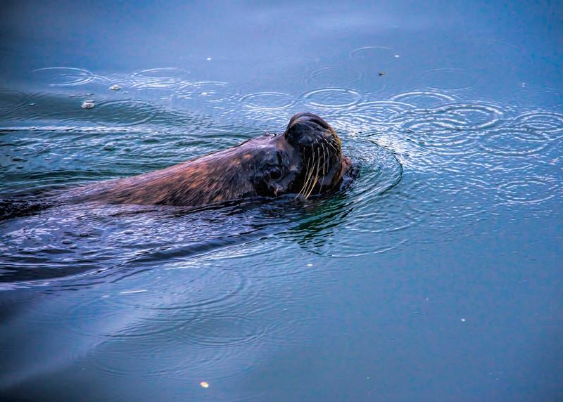 SOUTHERN SEA LION - CHILE