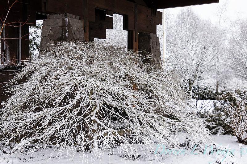 Acer palmatum var. dissectum 'Viridis' main office entrance with snow_4256.jpg