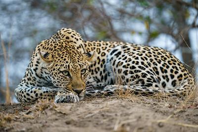 Leopard Hills 2018