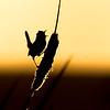 Marsh wren Cistothorus palustris singing from cattail near Dawson Creek, British Columbia, Canada.