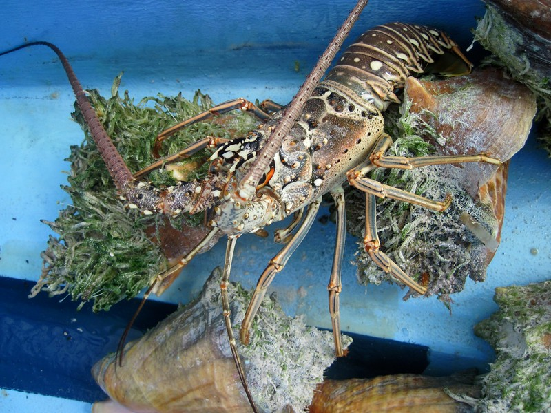 Lobster (crawfish) and conch catch