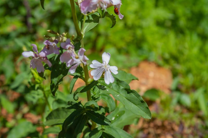 Common Soapwort - Saponaria officinalis
