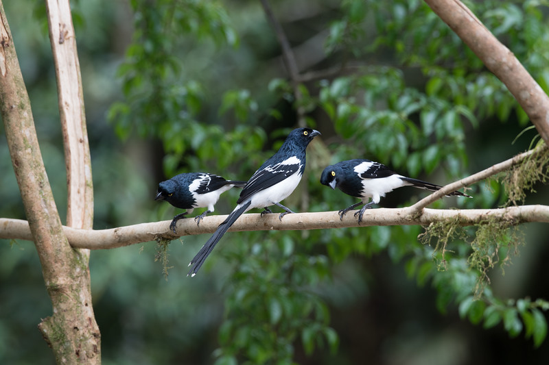 Trio of Magpie Tanagers