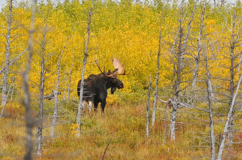 Bull moose.  Near Waterton, Canada.