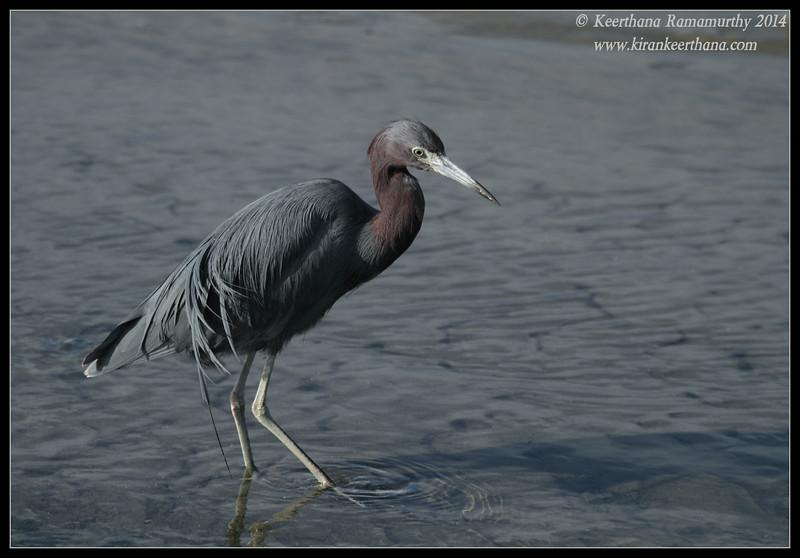 Little Blue Heron, Robb Field, San Diego River, San Diego County, California, February 2014