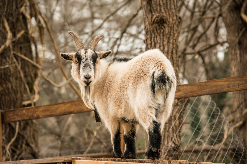 Goat (4 of 4)