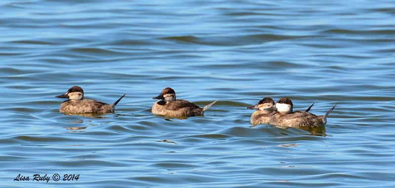 Ruddy Ducks - 10/8/2014 - Salt Works