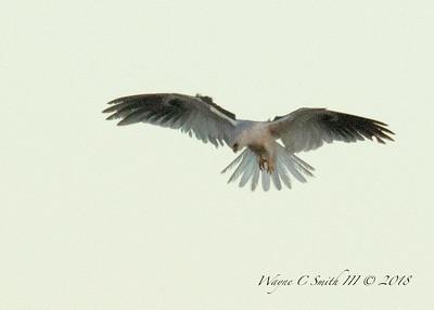 White Tail Kite