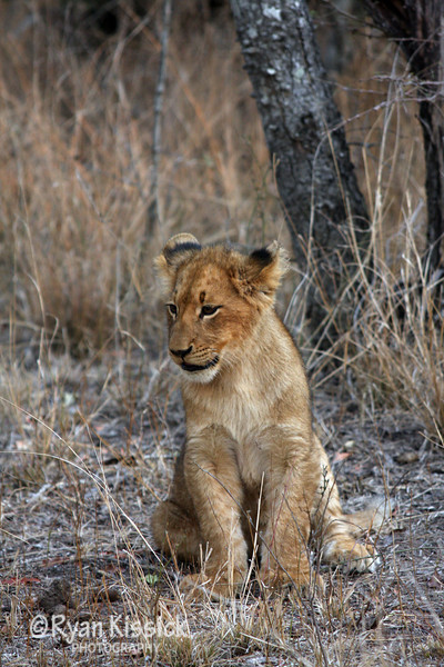 Lion cub sitting at attention