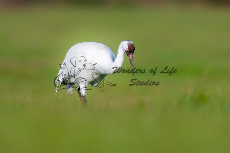 Cranes, Storks, and other large and unusual  birds