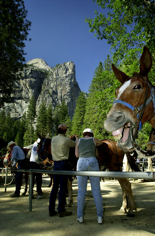 . A pack horse in Yosemite Valley appears to be laughing, June 19, 2000 in Yosemite National Park, California. (Photo by David McNew /Newsmakers)