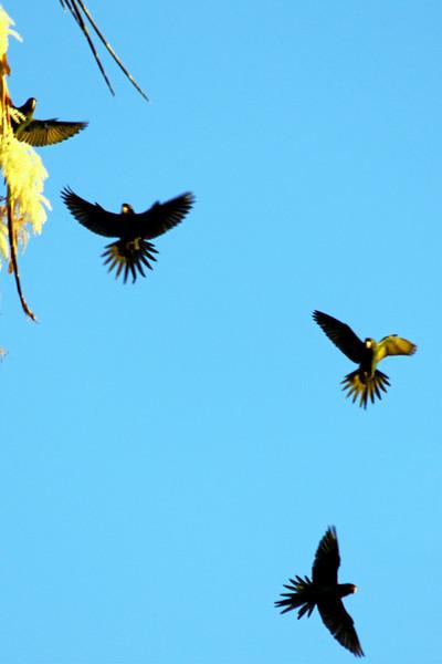 IMG_6413 parrots flying.jpg